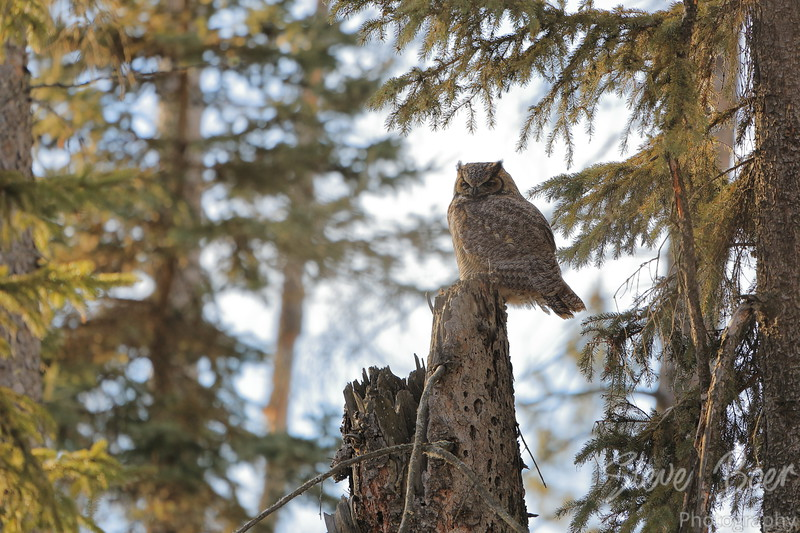 Great Horned owl sitting on a dead tree