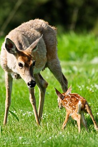 Whitetail Doe and New Fawn