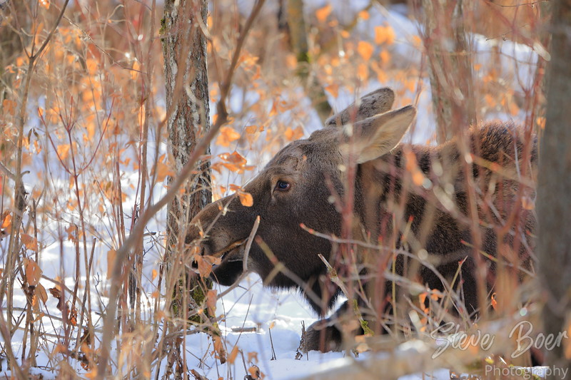 Young moose lying in the snow