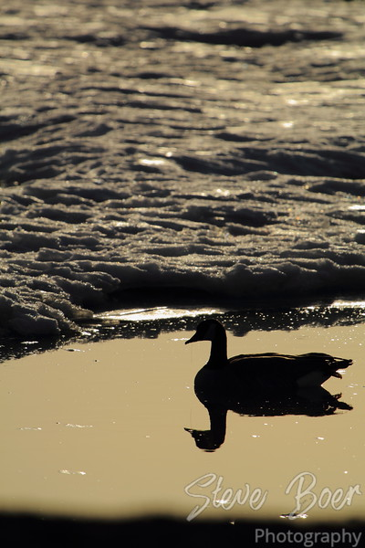 Canada Goose in icy pond