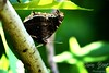 Mourning Cloak butterfly profile