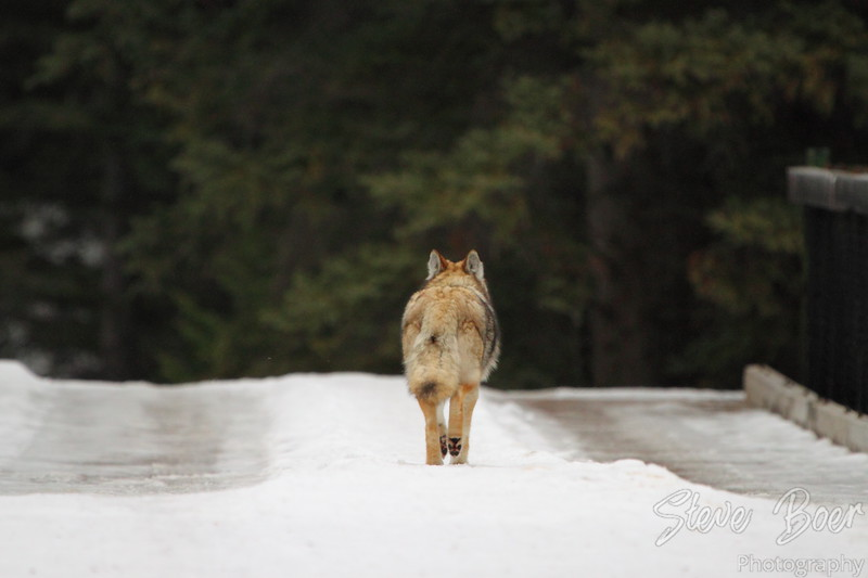 Coyote leaving