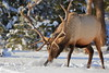 Bull elk digging through the snow