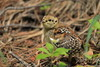 Spruce Grouse baby chick