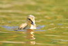 Mallard duckling swimming towards me