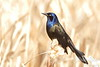 Common Grackle perched on a cat tail