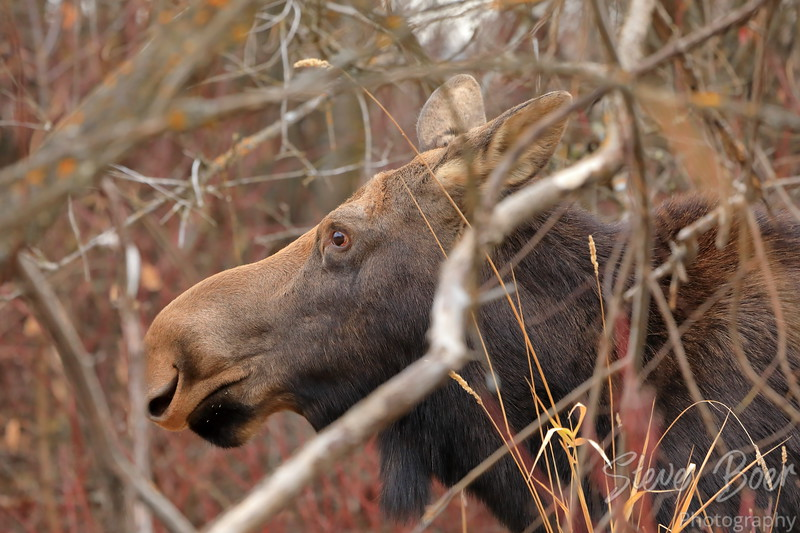 Moose in the trees