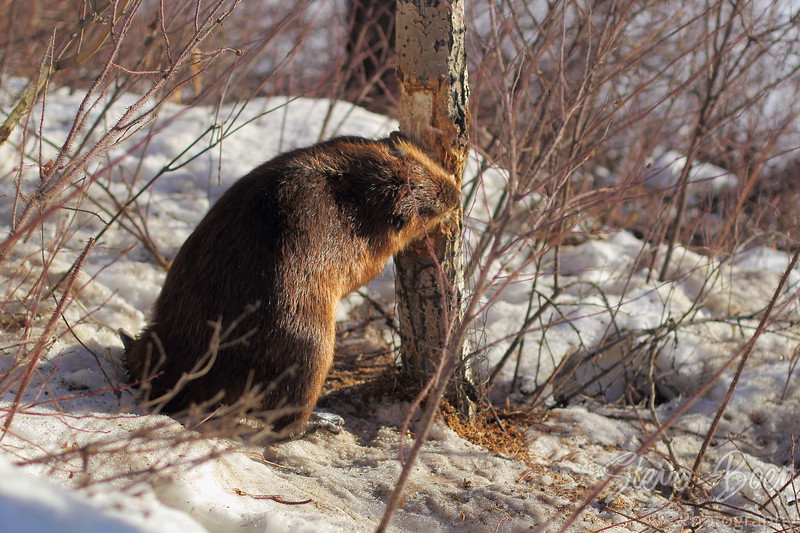 Beaver in winter