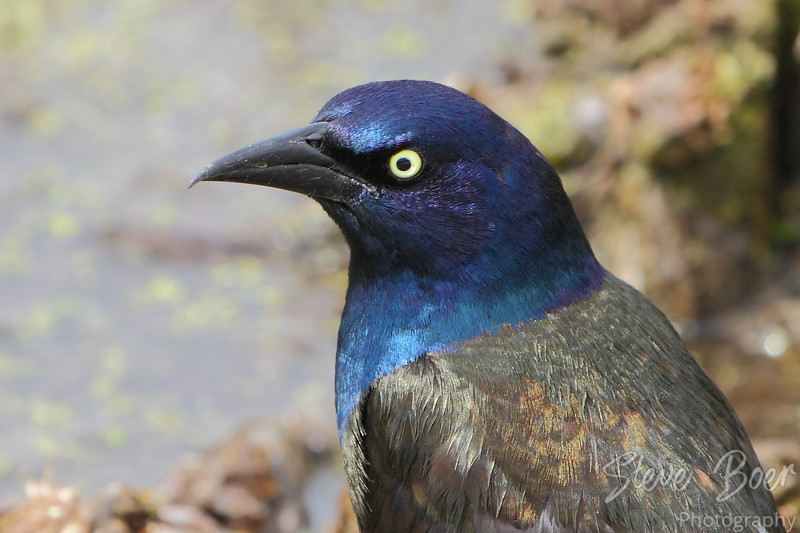 Grackle closeup