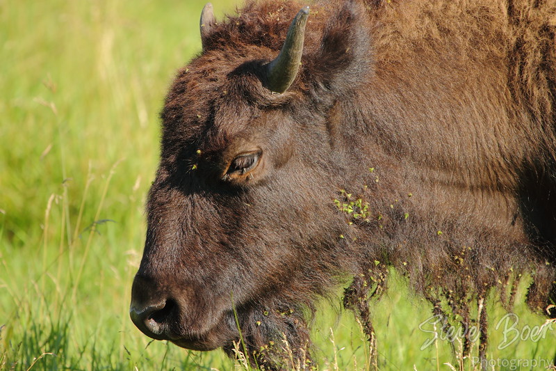 Bison at Elk Island