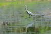 Great Blue Heron taking a step
