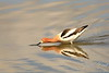American Avocet catching some food