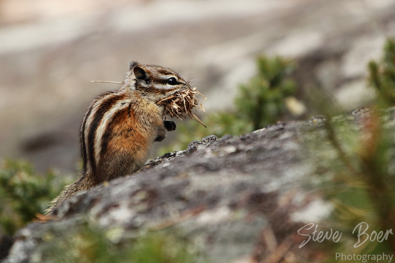 Chipmunk collecting grass