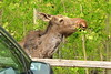 Young moose close to town