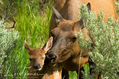 Elk Cow/Calf