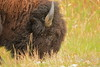 Bison head closeup
