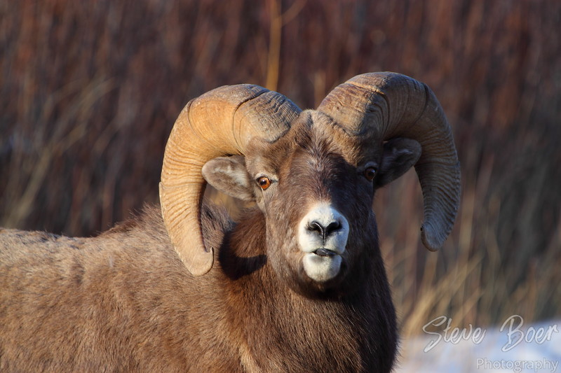 Bighorn sheep sticking his tongue out at me