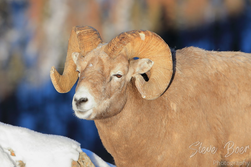 Bighorn sheep in Jasper Alberta Canada