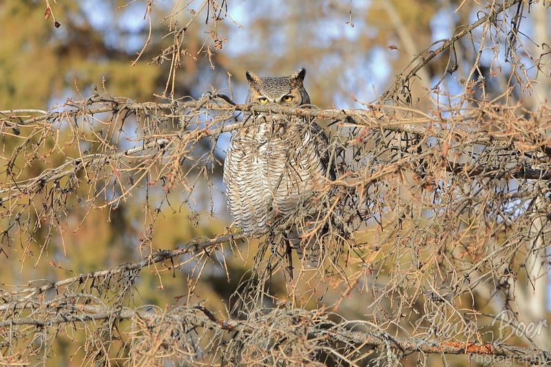 Great Horned owl looking over branch