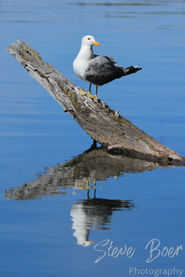 Gull on log reflection