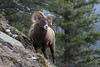Bighorn Sheep on Mountainside