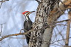 Pileated Woodpecker with his tongue sticking out