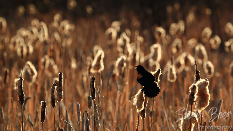 Red-winged blackbird in the reeds