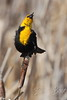 Yellow-headed Blackbird singing