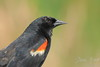 Red winged blackbird profile close up