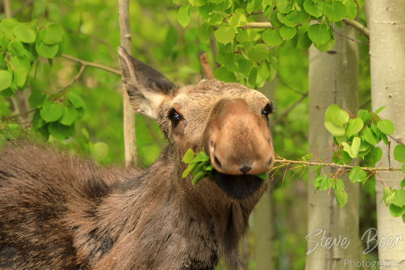 Young moose in a funny pose