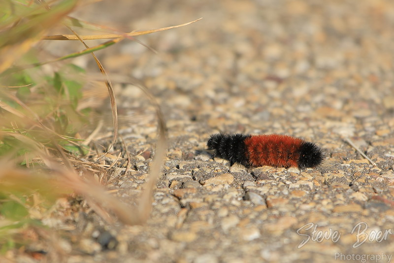 Black and Brown Woolly Bear caterpillar