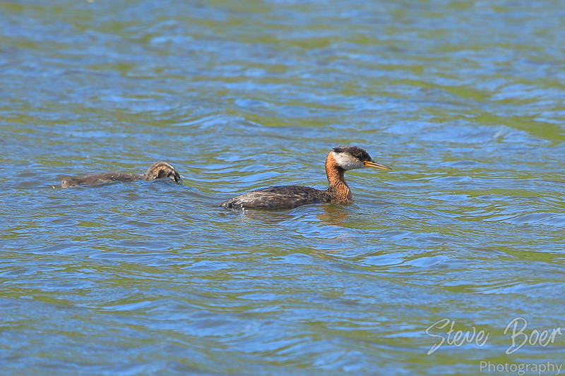 Red necked grebe and baby