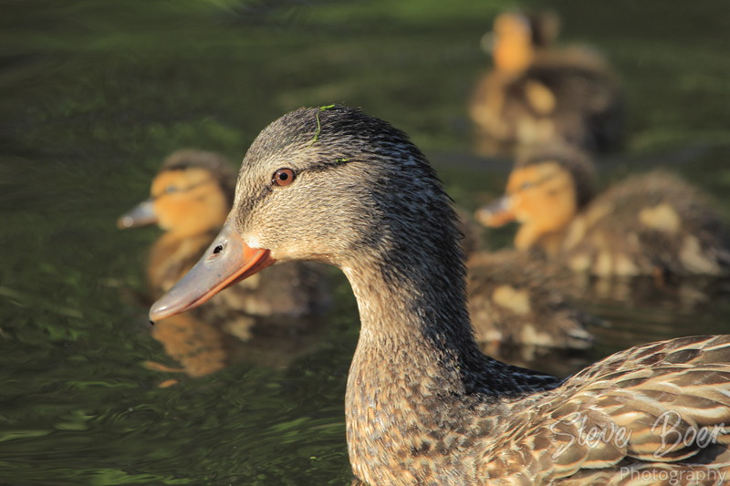 Mother mallard with babies