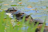Group of western painted turtles