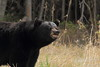 Black Bear Snarling