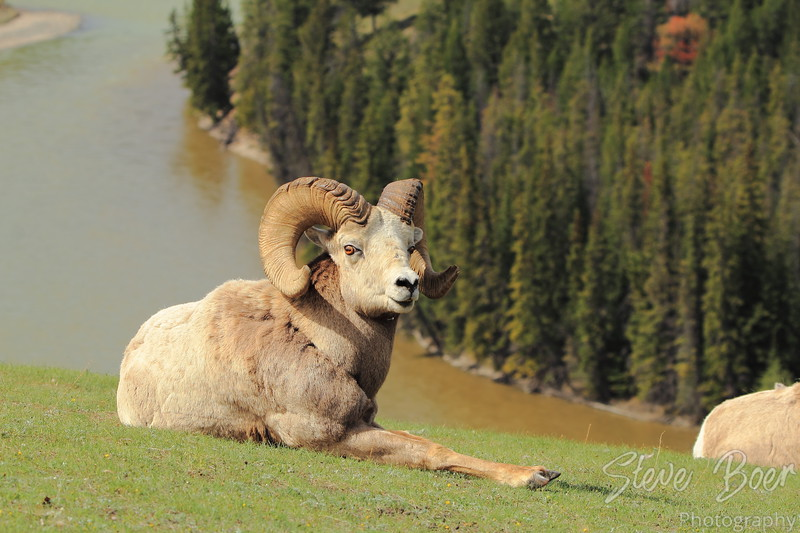 Reclining Bighorn Sheep with trees and river background