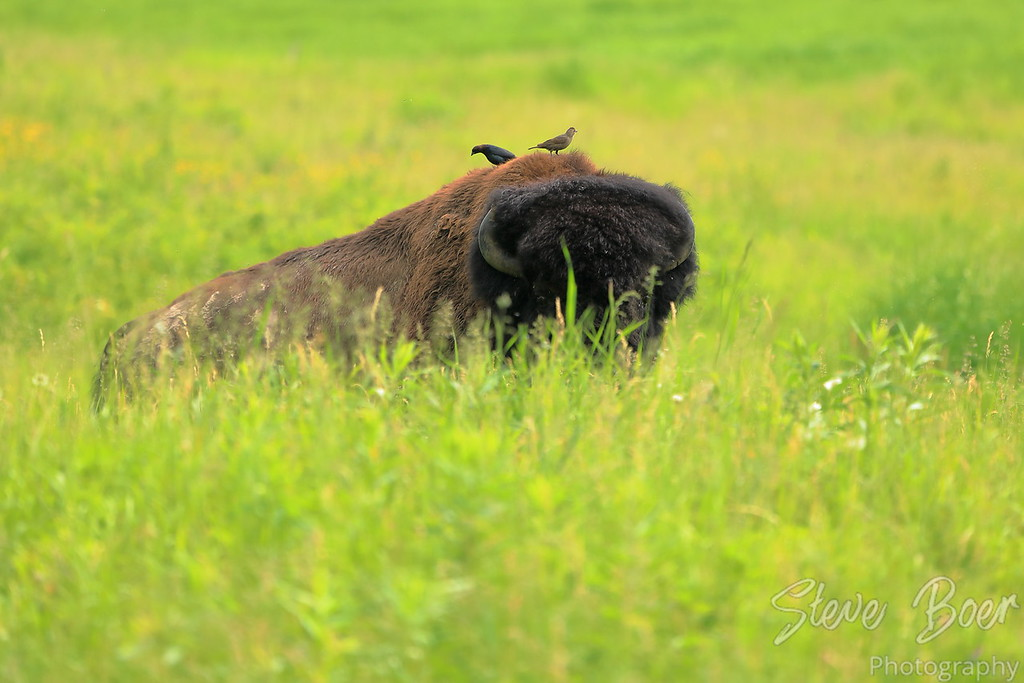 Bison behind a hill