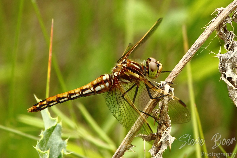 Orange-brown Dragonfly