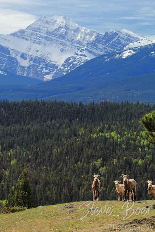 Group of Young Bighorn Sheep with Mountain Background