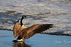 Canada Goose stretching his wings