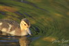 Duckling in green reflection