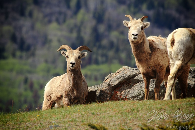 Young Bighorn Sheep on Mountainside