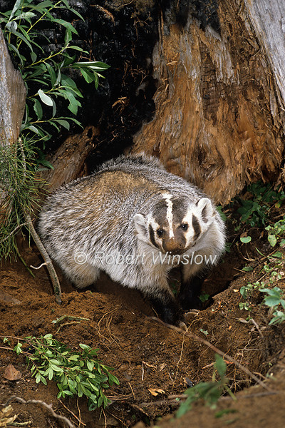 American Badger, Taxidea taxus, controlled conditions, Montana, USA, North America