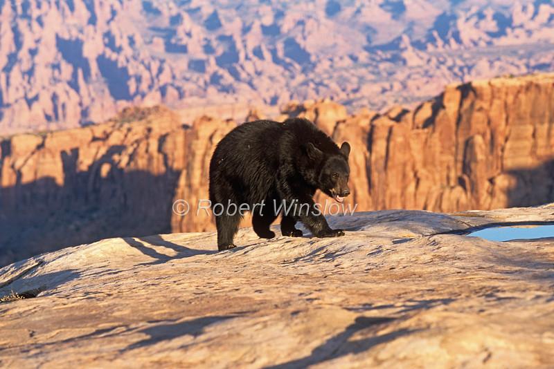 Black Bear, Ursus americanus, Controlled Conditions, Southeast Utah, USA, North America