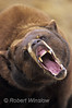 Black Bear Snarling, Ursus americanus Controlled Conditions