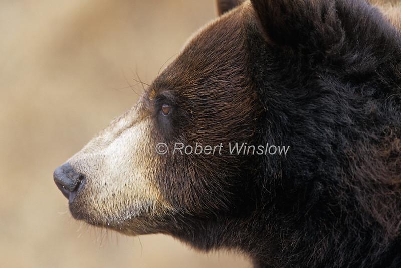 Black Bear, Ursus americanus, Controlled Conditions, Montana, USA, North America