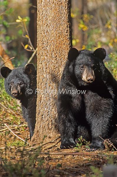 Two Black Bears, Ursus americanus, Controlled Conditions, Montana, USA, North America