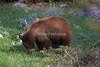 Cinnamon colored Black Bear, Ursus americanus, Yellowstone National Park, Wyoming, USA, North America