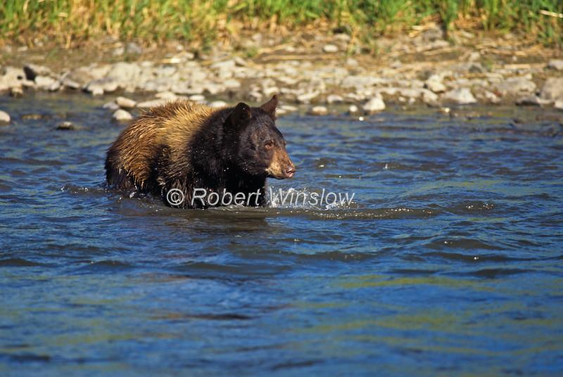 Black Bear, Ursus americanus, Swimming in a Stream,Controlled Conditions, Montana, USA, North America