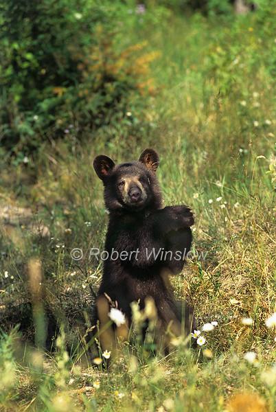 Black Bear Cub, Ursus americanus, Controlled Conditions